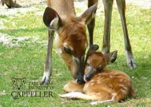 antilope sitatunga