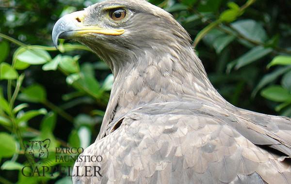 Aquila rapace