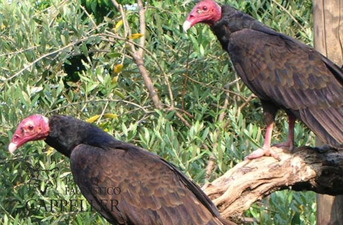 Avvoltoio testa rossa