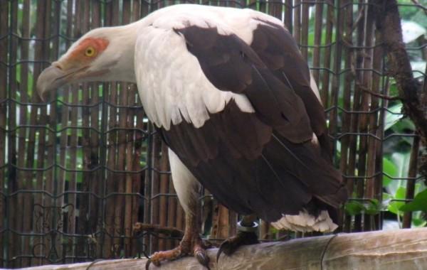Avvoltoio delle palme