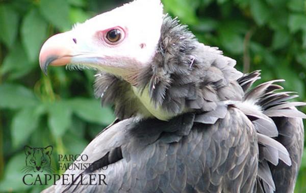 Avvoltoio testabianca