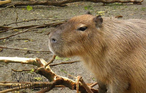 Capibara