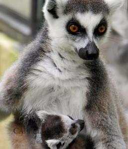 cucciolo lemure catta
