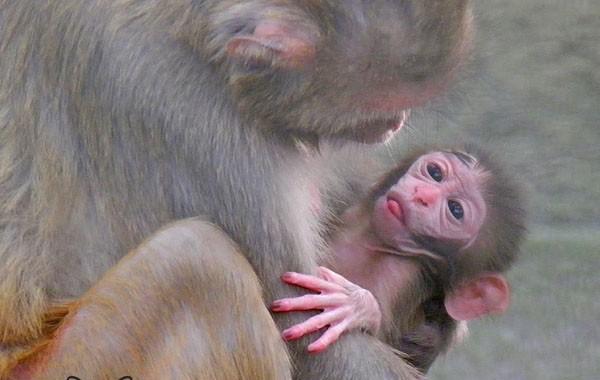 Macaco Reso