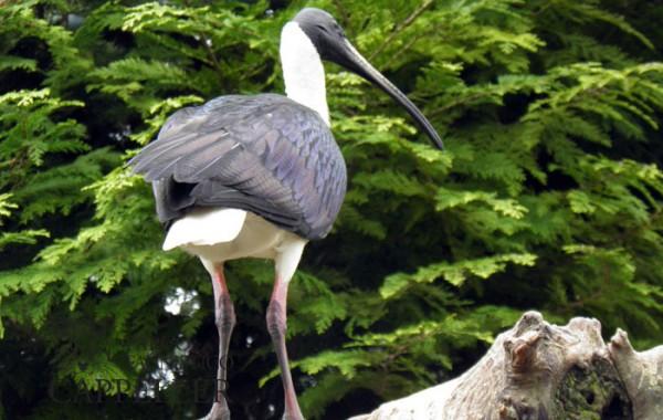 Ibis collospino