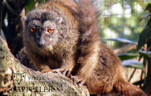 Lemure dalla fronte bianca