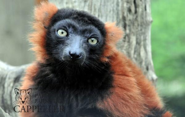 Lemure vari bianco e nero e rosso
