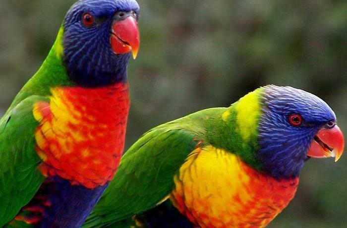 Lorichetto arcobaleno
