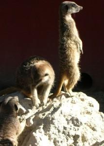 suricato-cappeller3