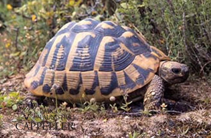 Testudo hermanni for Incubazione uova tartaruga