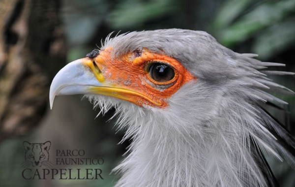 Falco serpentario